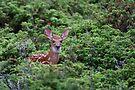 Fawn - White-tailed Deer by Jim Cumming