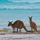 Beach Roos - Lucky Bay - Cape Le Grande - WA by Chris Paddick