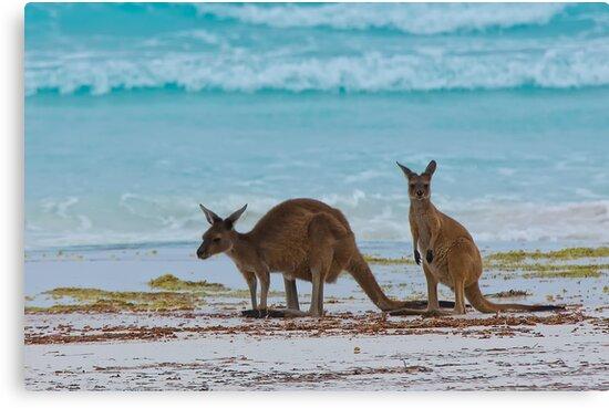 Beach Roos - Lucky Bay - Cape Le Grande - WA by Chris Paddick