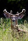 He wore Velvet - White-tailed Deer by Jim Cumming