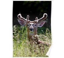 He wore Velvet - White-tailed Deer Poster