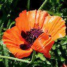 Pretty Poppy... ©  by Dawn M. Becker