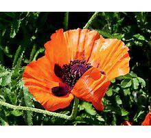 Pretty Poppy... ©  Photographic Print
