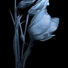 Lisianthus on Black Background by hankfrentzphoto