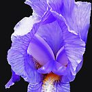 Purple Passion - Radiant Purple Iris on Jet Black Background by BlueMoonRose