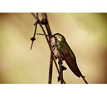 Broad-billed Hummingbird Photographic Print
