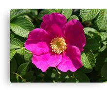 Beach Rose - Rosa Rugosa Canvas Print
