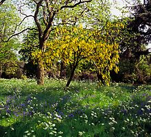 Laburnum tree in full flower by Michael Schmid