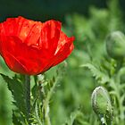Corn poppy by ImageItFoto