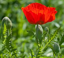Poppy by ImageItFoto