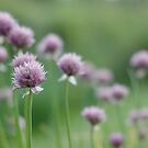 Chives by Matthew Folley