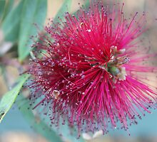 Callistemon by Margi