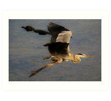 Great Blue Heron flying over a Alligator Art Print