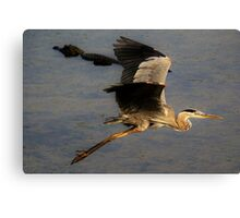 Great Blue Heron flying over a Alligator Canvas Print
