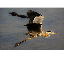 Great Blue Heron flying over a Alligator Photographic Print