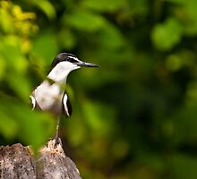 A Wary Tern by Dieter Tracey