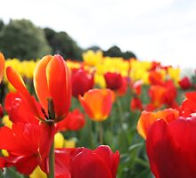 Tulips by Sarah Pidgeon