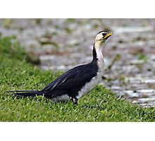 Little Pied Cormorant (Phalacrocorax melanoleucos) Photographic Print