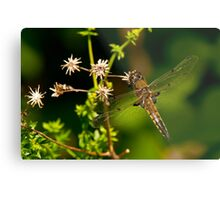 Four Spotted Skimmer Dragonfly Metal Print