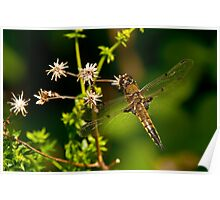 Four Spotted Skimmer Dragonfly Poster