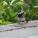 British Wagtail by CreativeEm