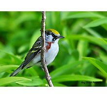 Chestnut-sided Warbler Photographic Print