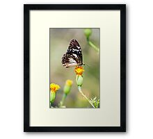 Golden Touch - butterfly feeding. Framed Print