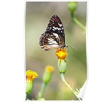 Golden Touch - butterfly feeding. Poster