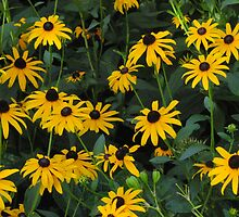 """A Bunch of Blackeyed Susans"" by dfrahm"