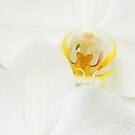 White iris by Patrick Reinquin