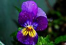Pretty Purple Pansy by Tori Snow
