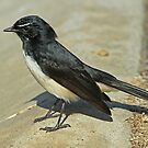Willie Wagtail Close Up by Robert Abraham