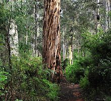 Karri Tree Walk - Pemberton WA by Bev Woodman