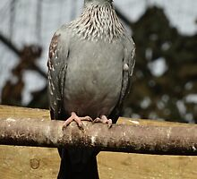 African Speckled Pigeon by Caroline Smalley