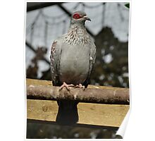 African Speckled Pigeon Poster