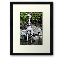 Heron fishing for fishies Framed Print