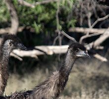 Emu youngsters. by Kylie Jones