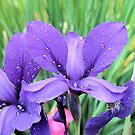 Irises in Rain by Elizabeth Bennefeld