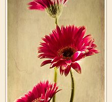Gerbera Fountain by Aj Finan