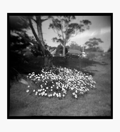 Daisies Photographic Print