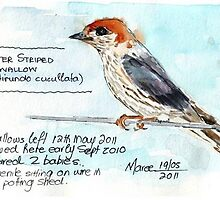 Greater Striped Swallow (Hirundo cucullata syn. Cecropis cucullata) by Maree  Clarkson