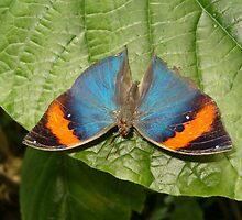 Indian Dead Leaf Butterfly in Garden by Paula Betz