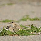 Snowy Plover Chick with Mom, As Is by Kim McClain Gregal
