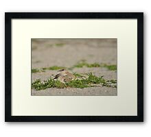 Snowy Plover Chick with Mom, As Is Framed Print