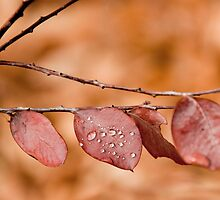 Dew Drops by NolsNZ