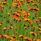 Orange Hawkweed- Hieracium aurantiacum by Tracy Wazny
