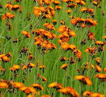Orange Hawkweed- Hieracium aurantiacum by Tracy Faught