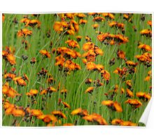 Orange Hawkweed- Hieracium aurantiacum Poster