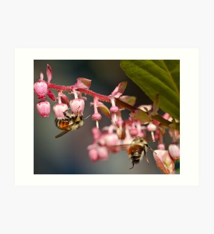 Twin Bumble Bees at Work Art Print