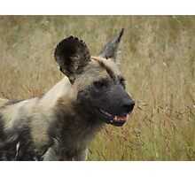 African Wild Dog Photographic Print